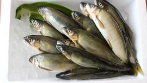 【新入荷】熊本の美味しい水で育った鮎を使用した加工品取り扱い始めました。