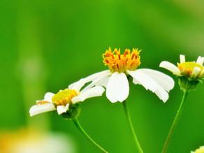 【植物四季】大花咸豐草