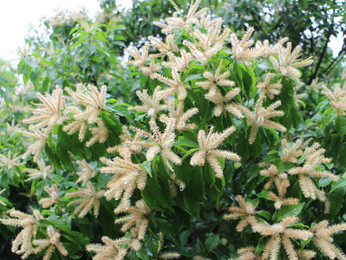 【植物四季】小西氏石櫟
