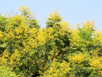 【植物四季】台灣欒樹