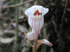 【植物四季】一葉罈花蘭