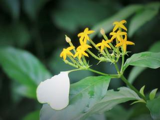 【植物四季】玉葉金花