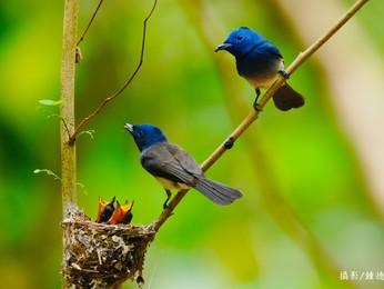【飛羽之美】黑枕藍鶲