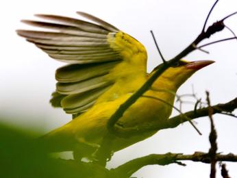 【飛羽之美】黃鸝鳥