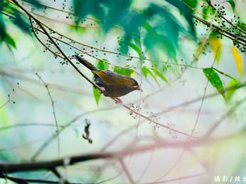 【飛羽之美】黃胸藪眉