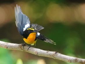 【飛羽之美】黃眉黃鶲