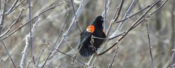 RW blackbird horiz