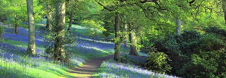 bluebell path cropped.jpg