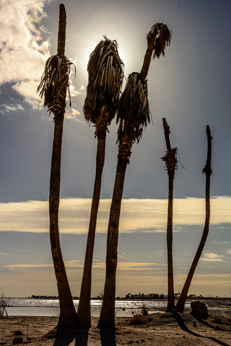 Palm Tree Skeletons