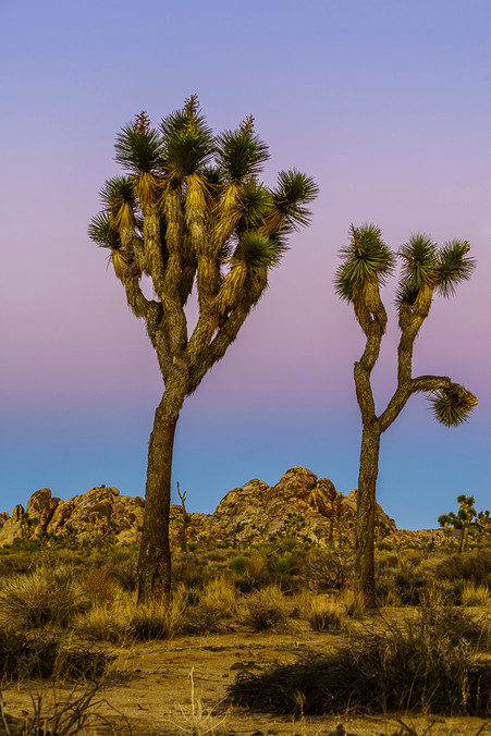 Belt of Venus and Joshua Trees