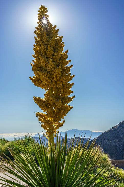 Desert Nolina Bloom