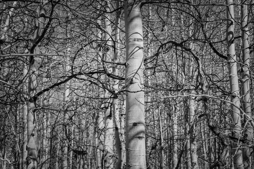 Black & White Aspens