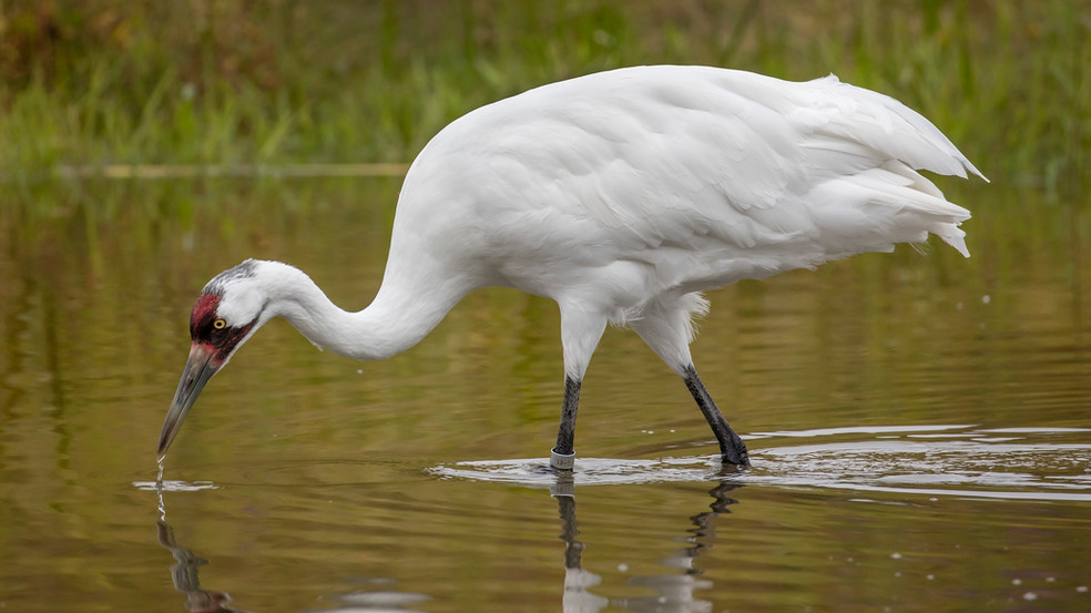 Journey of the Whooping Crane