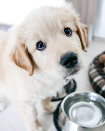 cute golden retriever puppy, asking for
