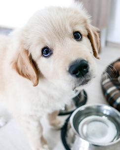 cute golden retriever puppy, asking for
