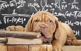 Puppy of Dogue de Bordeaux (French masti