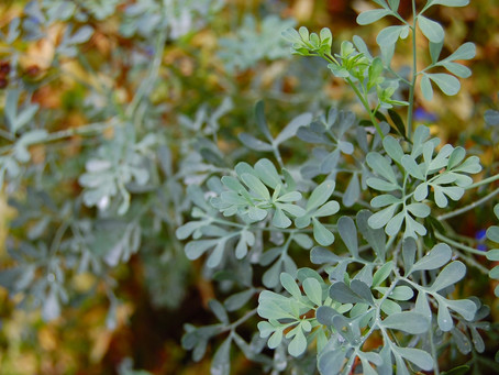 Homeopathic and Ruta; herb of grace