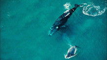 As Baleias Franca em Garopaba