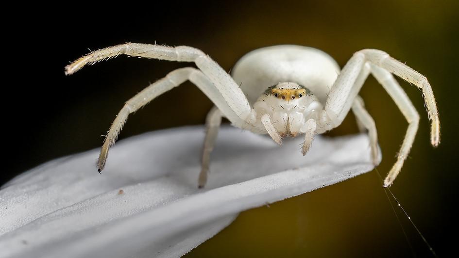 White Crabspider