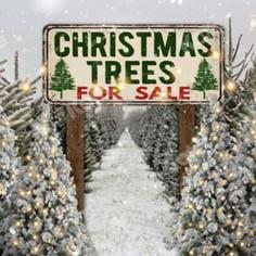 Xmas Trees 4 Sale