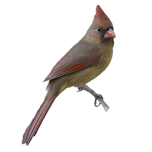 remove background branch bird large.png