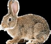 brown-rabbit-3.png