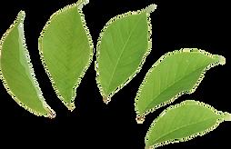 transparent-leaf-green-2.png