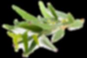 kisspng-eucalyptus-globulus-eucalyptus-r
