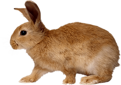blonde-rabbit-walking-from-side.png
