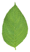 green_leaves_PNG3648.png
