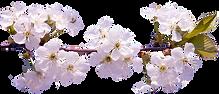 sakura_PNG52.png