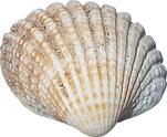 sea-shell-no-background-image.png