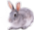 gray-rabbit.png