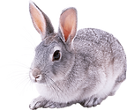 gray-rabbit.png
