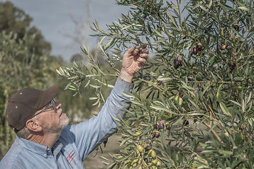 Australian Made Olive Oil, Sathya Olive Oil