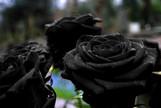 Drew Barrymore Grows a Black Rose