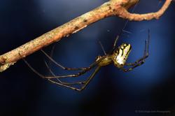 Silver Orb Spider 02