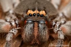 GiantGreen Huntsman Spider - Typostola barbata 03