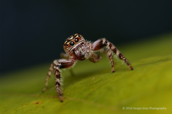 Garden Jumping Spider - Opisthoncus sp. 03