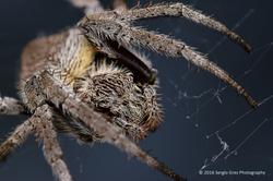 Garden Orb Web Spider - Eriophora transmarina 01