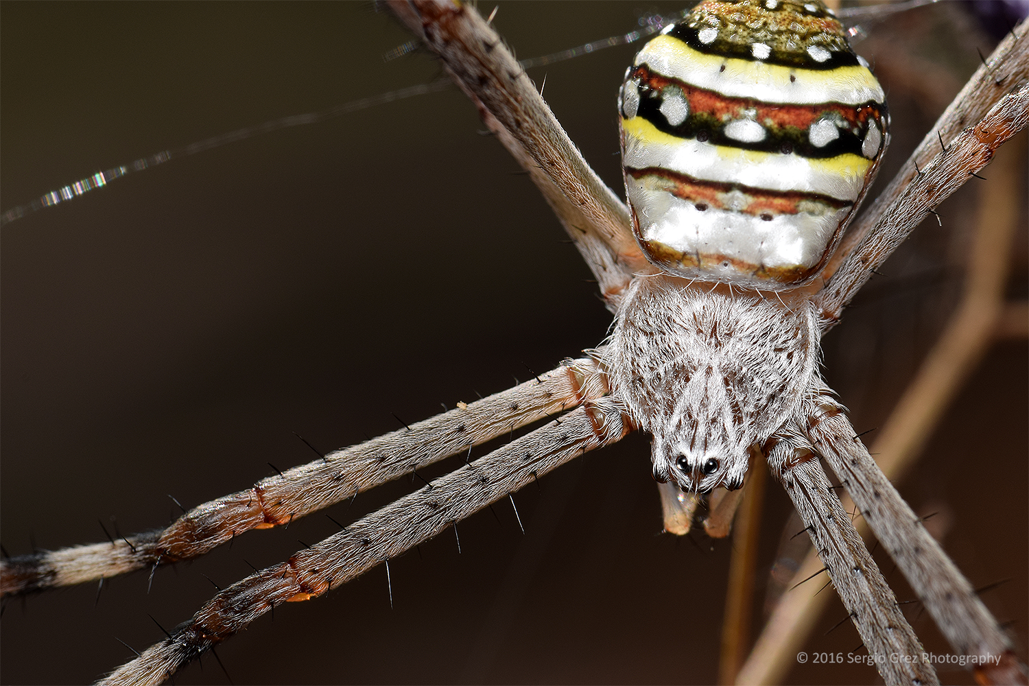 St Andrew Cross Spider