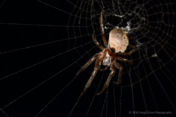 Half Orb Weaver Spider -  Araneus dimidiatus 01