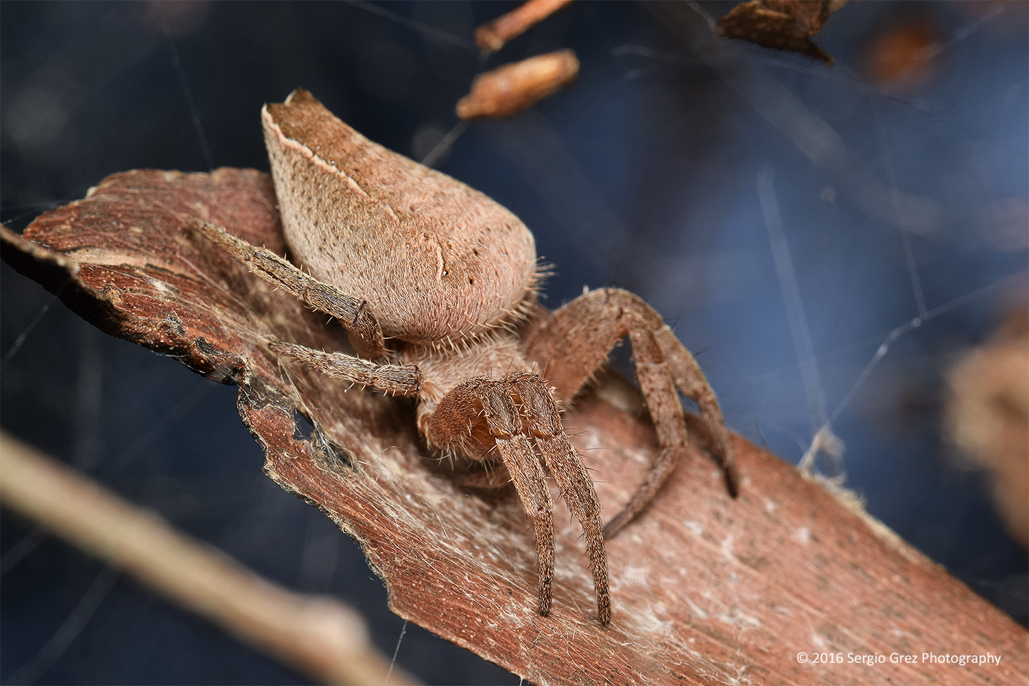 Pan-web Spider 02