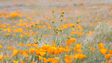 Antelope Valley Poppy Reserve 2017