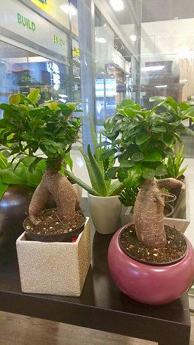 Fat Plants - Caudiciforms