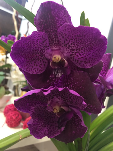 King Singaporean Orchid