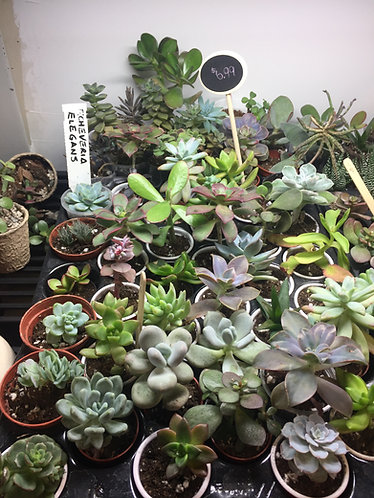 Succulents - Vary