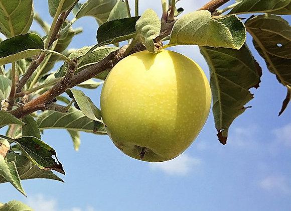 Golden Dorsett Apple Tree