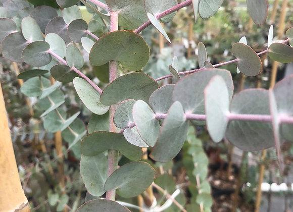 Silver Dollar Eucalyptus