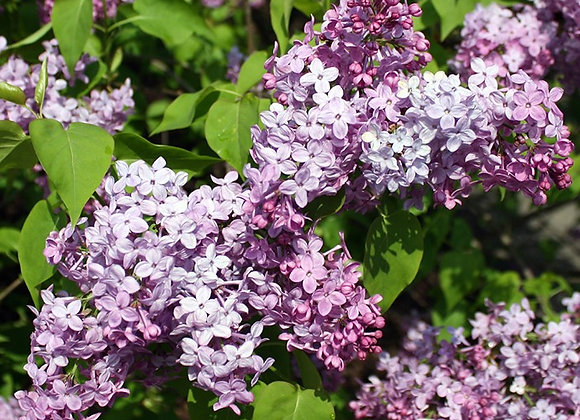 'Sunday' Lilac Shrub
